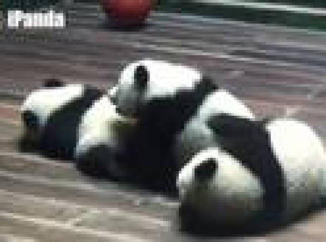 Üçüz panda yavrularına doğumgünü