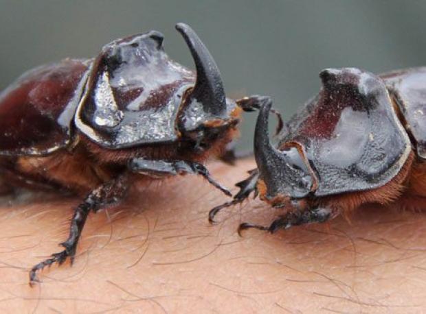 Gergedan Böceğine Görülmemiş İlgi