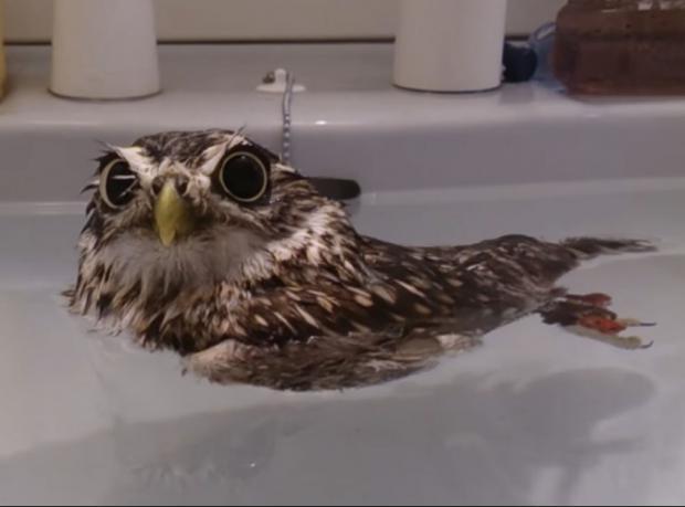 Baykuşun Banyo Sefası
