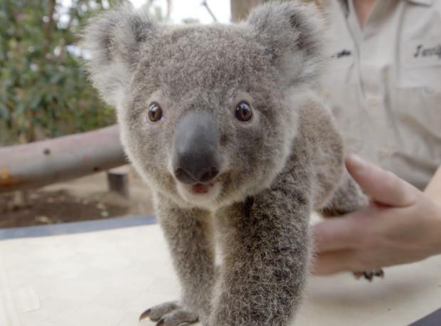 Yavru Koala Nasıl Tartılır?