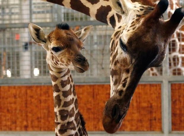 Yavru Zürafa Kipenzi'nin Acı Sonu