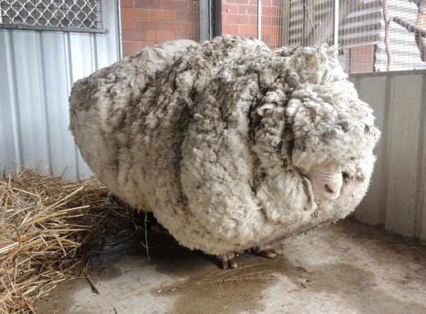 Kaçak Koyun Kırkıldı