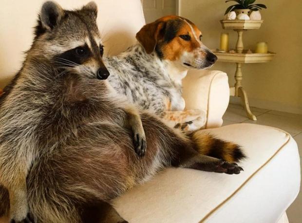 Sevimli Rakun, Kendisini Köpek Sanmaya Başladı