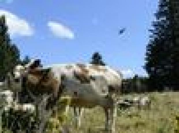 İsviçre Ordusu susuz inekler için Fransa'da operasyon yaptı