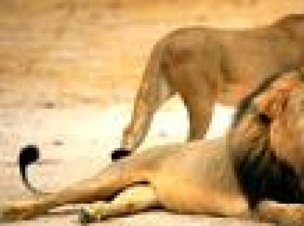 'Cecil'i öldürüp başını kestiler, derisini yüzdüler'