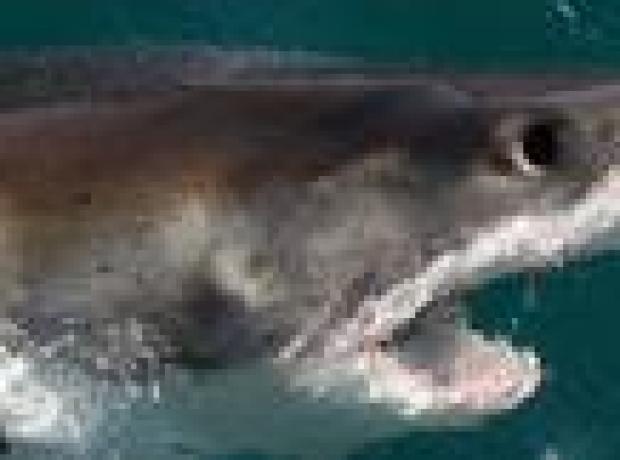 Bir kişi daha yumruklarla köpekbalığından kurtuldu