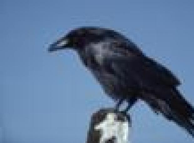 DERGİ - Ölüsüne sahip çıkan kuşlar